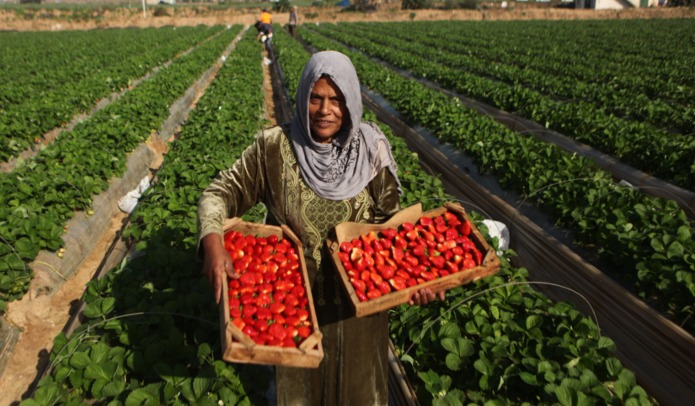Despite the Odds, Gaza Farmers Continue Harvesting Crops